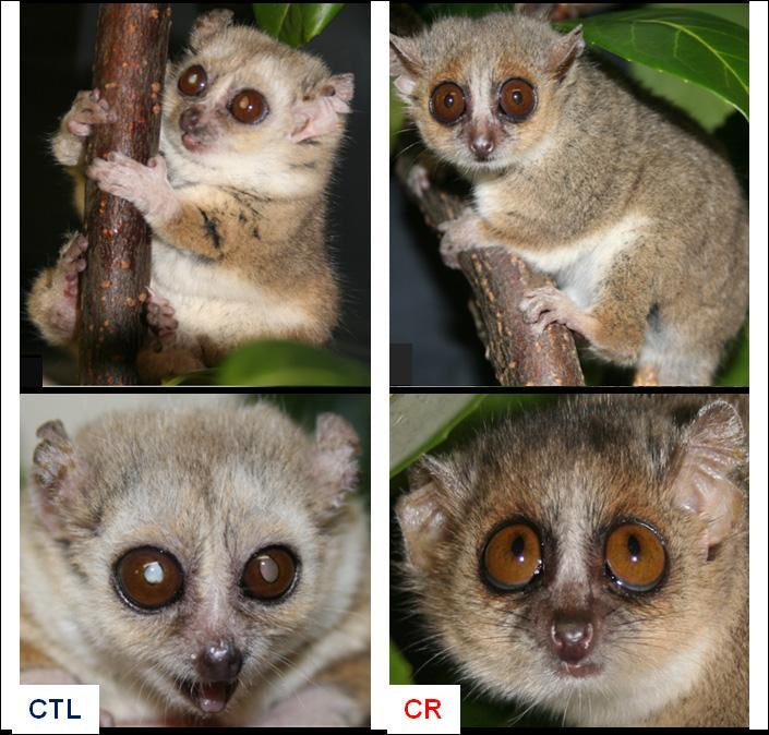lemur caloric restriction 2